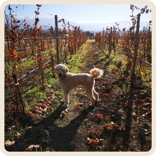 Eddie - Kitsch Winery Dogs