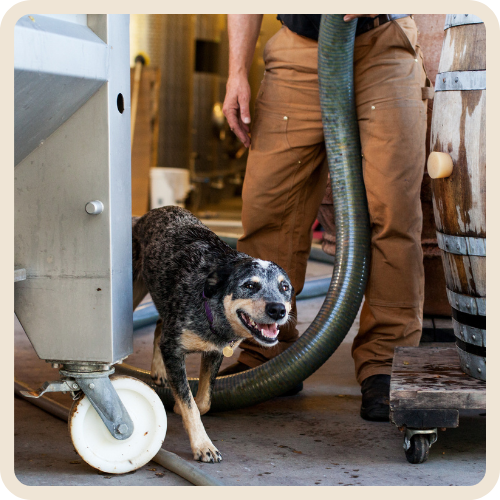 Tia - Blue Grouse Winery Dogs